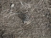 Fallen Pine Cone and Dried Needles Royalty Free Stock Images