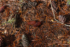 Fallen pine cones on the ground Stock Photo