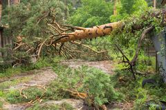 Fallen pine after a tornado. stock photography
