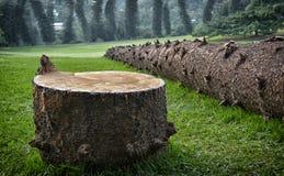 Fallen pine tree. Cut down [Cook Pine - Araucaria columnaris] pine tree Stock Photo