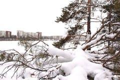 Fallen pine tree in the snow Stock Image