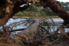 Fallen Pine Tree taken through roots. Recently fallen tree taken through the upturned roots, The tree is part;y in the lake royalty free stock images