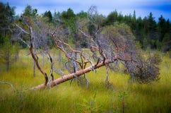 Fallen pine tree. On a wetland area in Sweden royalty free stock photo