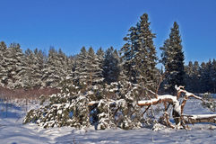 Fallen pine tree in winter forest Royalty Free Stock Photography