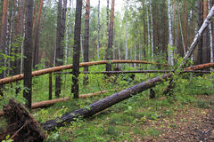 Fallen pine trees in the forest after hurricane Stock Image