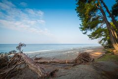 Fallen pines on the beach on a calm, warm summer day Royalty Free Stock Image