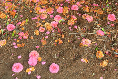Fallen pink flowers Royalty Free Stock Photos