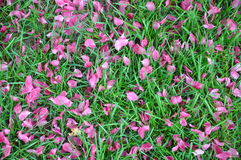 Fallen pink petals on green grass, spring blossom, water droplets, rain. Spring blossom, fallen pink petals on green grass, water droplets, rain Royalty Free Stock Photography