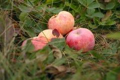 Fallen red apples Stock Photos