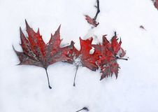 Fallen red frozen leaves in the snow Pavliani Greece royalty free stock photography