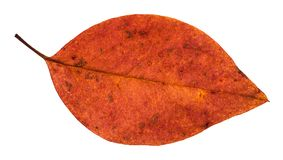 Fallen red leaf of apple tree isolated. On white background Stock Photography