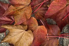Long stem red maple leaves macro. Fallen red leaves amass in a pile of displaced vegitation in fall nature patterns. colors bronze red magenta ruby grey stock photos