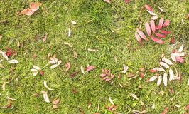 Fallen red leaves on green lawn grass. Stock Photos