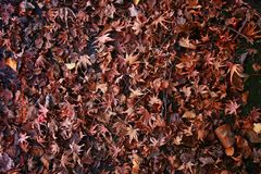 Fallen red leaves on ground in autumn. Floor covered with dried leaves royalty free stock photo