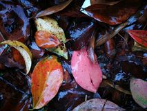 Fallen red leaves lying on wet ground Royalty Free Stock Image