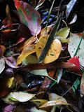 Fallen red leaves lying on wet ground Royalty Free Stock Images