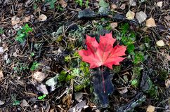 Free Fallen Red Maple Leaf As Concept Of The Onset Of Autumn Royalty Free Stock Photos - 159552808