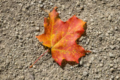 Fallen Red Maple Leaf #2 Stock Images