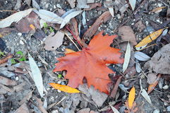 Fallen red maple leaf Royalty Free Stock Images