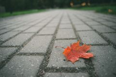 Fallen red maple leaf on pavement Royalty Free Stock Images