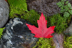Fallen Red Maple Leaf on Wet Rocks and Moss. Close up of a fallen single dark red maple leaf on wet rocks and moss Stock Image