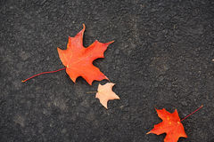Fallen red maple leaves on asphalt road surface in autumn Royalty Free Stock Photos