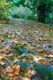 Tree roots in path. Fallen red maple leaves scattered over tree root and path leading through forest Royalty Free Stock Image