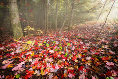 Fallen Red Maple Leaves in the Woods Royalty Free Stock Images