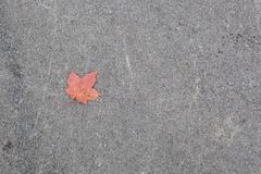 A Fallen Red-Orange Maple Leaf Against a Gray Concrete Backgroun Royalty Free Stock Image