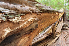 Fallen Redwood Tree Stock Photography