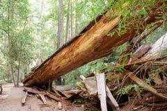 fallen redwoodträdtree Arkivfoto