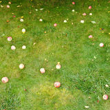 Fallen ripe apples lie on green grass Royalty Free Stock Images