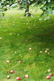Fallen ripe apples lie on green grass under tree Royalty Free Stock Photo