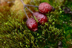 Fallen rose-dog berry among moss sprout Stock Photography