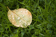 Fallen Rose leaf with dewdrops Royalty Free Stock Images