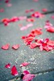 Fallen rose petals Royalty Free Stock Photography