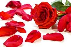 Fallen rose petals Royalty Free Stock Images