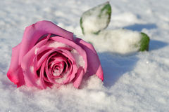 Fallen rose in snow Royalty Free Stock Photo