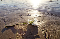 Fallen Rose. White rose treampled on the beach Royalty Free Stock Photo