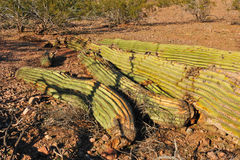 Fallen Saguaro Cactus Stock Photography