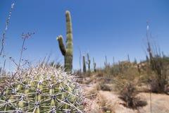 Fallen Saguaro. Close up view of a fallen saguaro cactus in Saguaro National Park, Tucson, Arizona Royalty Free Stock Photos
