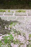 Fallen sakura petals Royalty Free Stock Photography