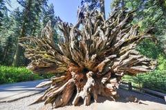 Fallen Sequoia in Mariposa Grove, Yosemite National Park. Fallen Sequoia in Mariposa Grove of Yosemite National Park, California, USA royalty free stock photos