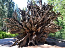 Fallen sequoia tree in Yosemite National Park, California Stock Image