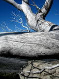Fallen snowgum. A fallen snowgum in the Australian Snowy Mountains after the bushfires Royalty Free Stock Photography
