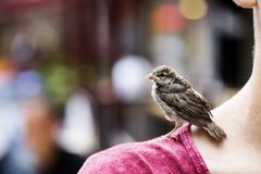 The fallen sparrow Royalty Free Stock Images