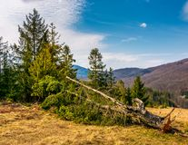 Fallen spruce tree on forested hills in springtime. Poor scenery after winter storms Stock Images