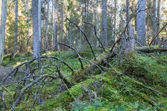 Fallen spruce tree Stock Photos