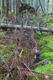 Fallen spruce tree Royalty Free Stock Photos