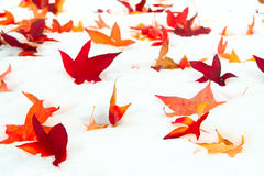 Fallen Sweetgum leaves in the snow royalty free stock photo